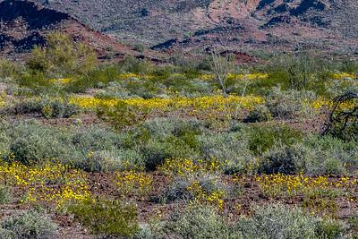 Desert Sunflowers #5