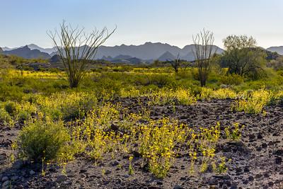 Desert Sunflowers #2