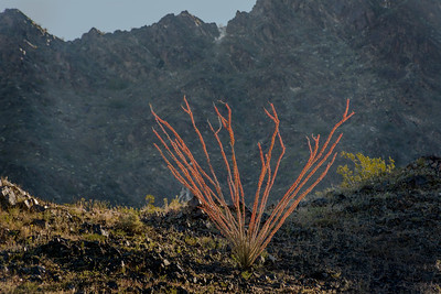Ocotillo With Red Leaves #2