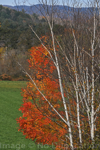 Birch And Maple 2009<br /> (2x3)