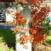 Camden Harbor Foliage - Camden, Maine<br /> FO_0006-6_fo