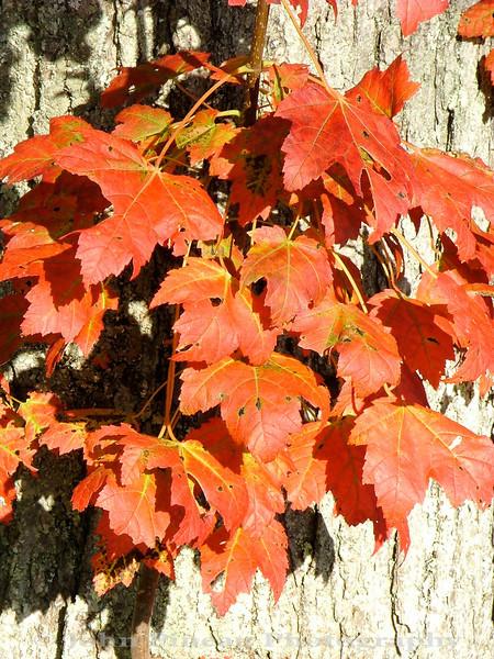 Fall Foliage - Camden Harbor - Camden, Maine<br /> FO_0023-Pic 259