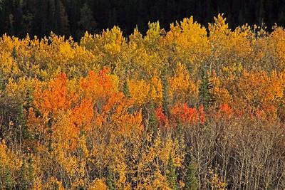 Denali Autumn Ablaze