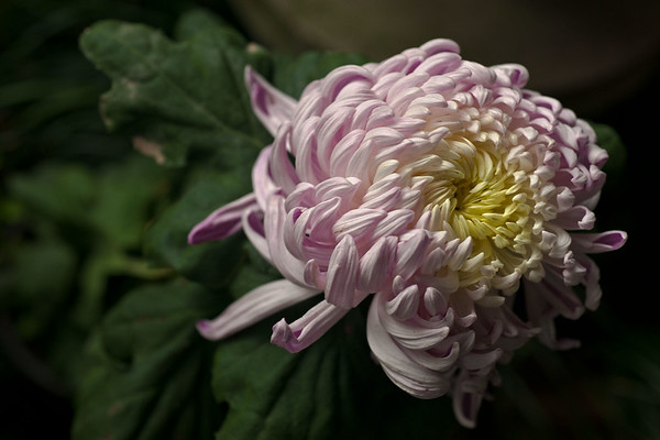 Chengdu.<br /> Chrysanthemum flower in People's Park.