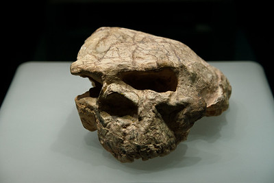Wuhan.  This skull of Homo Erectus discovered in Yunxian, Hubei Province in 1989, is in the collection of the Hubei Provincial Museum. Though distorted by earthly pressure over many millennia, it is regarded as among the most complete Middle Pleistocene hominid crania found in Asia.