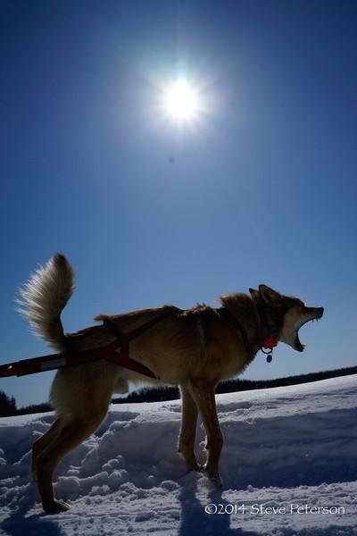 Alaska Top Ten--Lead dog.