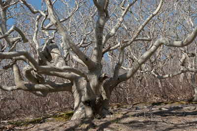 Beech Tree, Cedar Tree Neck Sanctuary, Martha's Vineyard