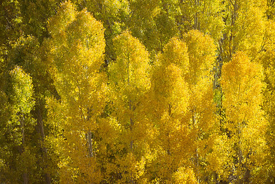 Cloud of Aspens, Lee Vining Canyon, Mono Lake