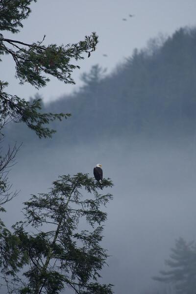Eagle on Fog