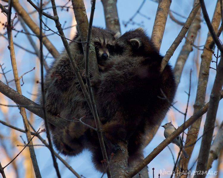 Raccoons and The Noisy Neighbor