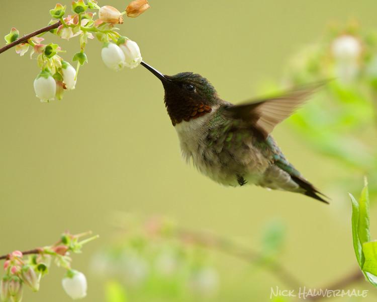 Blueberry Hummingbird