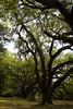 2110 Oak Tree