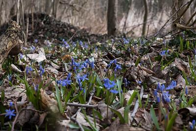 mars 2017, forêt de Wibolsheim, Eschau, Bas-Rhin
