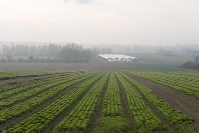 novembre 2017, salades à grande échelle, Innenheim, Bas-Rhin