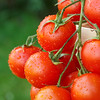 Lovely fresh small red tomatoes on the vine. With out of focus grass in the background.