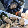 Tomales Bay Oysters 2016_4web3256