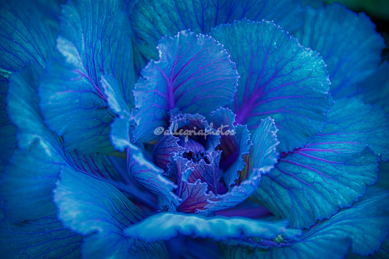 Blue ornamental cabbage