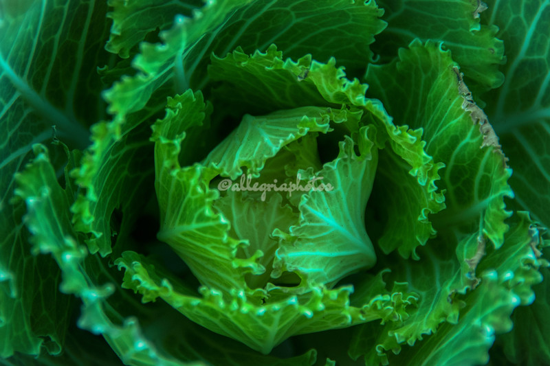 Another ornamental cabbage