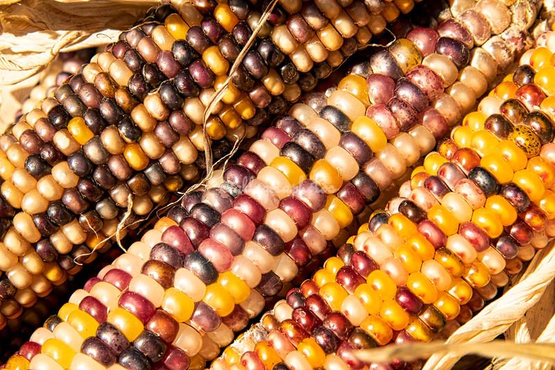 Close up Indian corn