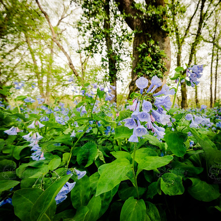 Bluebells on the Shenandoah