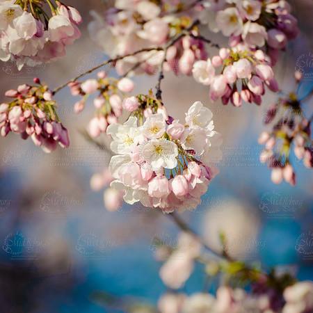 Cherry Blossom Washington DC