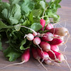 A bunch of French radishes