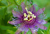 Purple Haze- passion flower