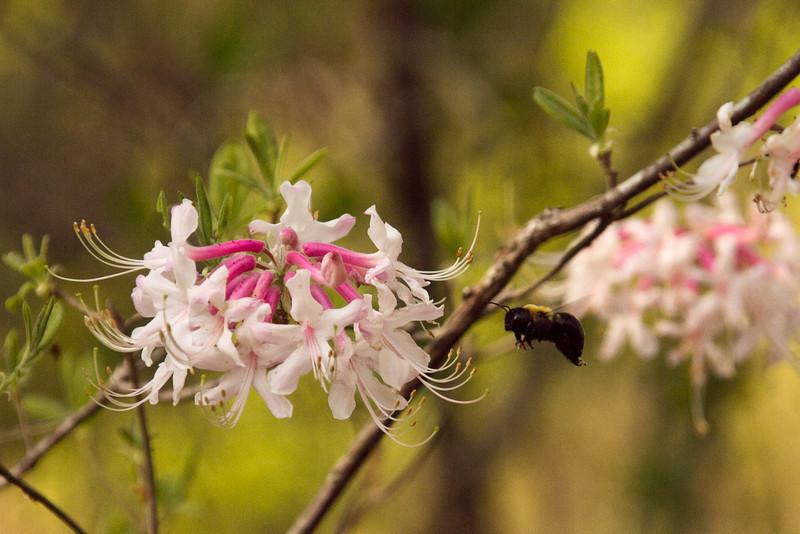 Bee to Honeysuckle