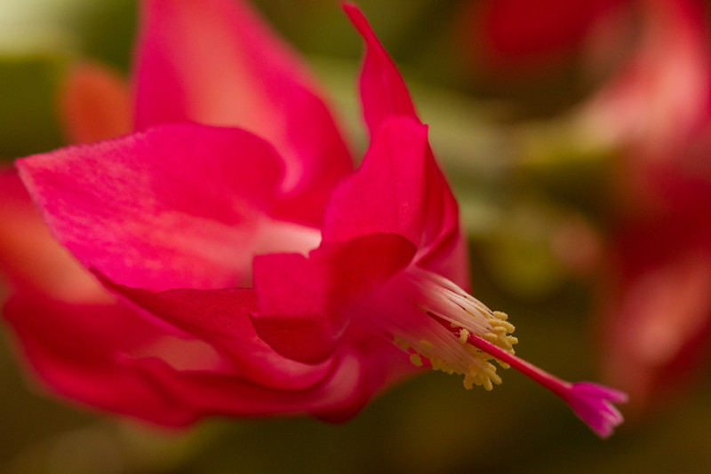 Close-up of Christmas cactus