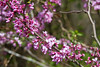 Spring blooms, Tuscaloosa, Alabama