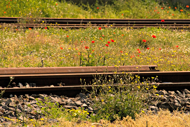 Wild poppies near the railroad track in Italy.