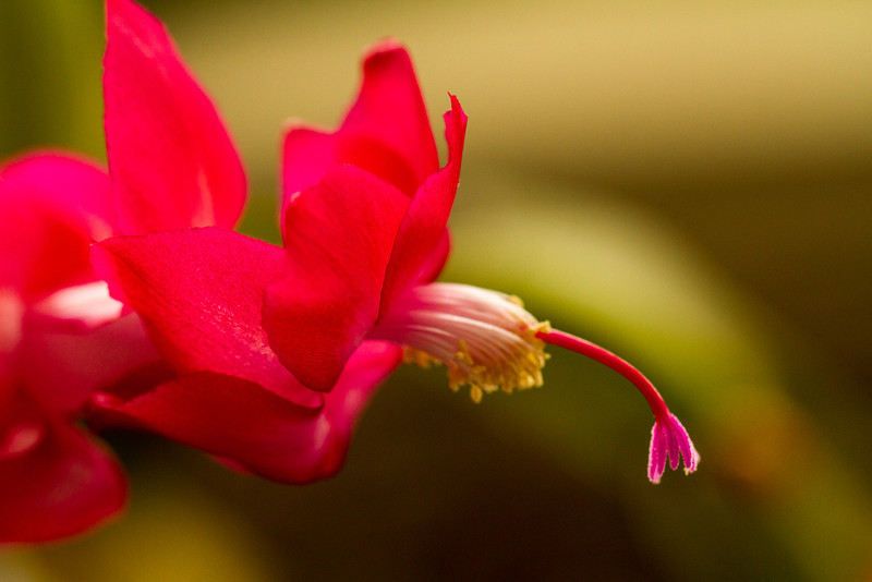 My faithful Christmas Cactus