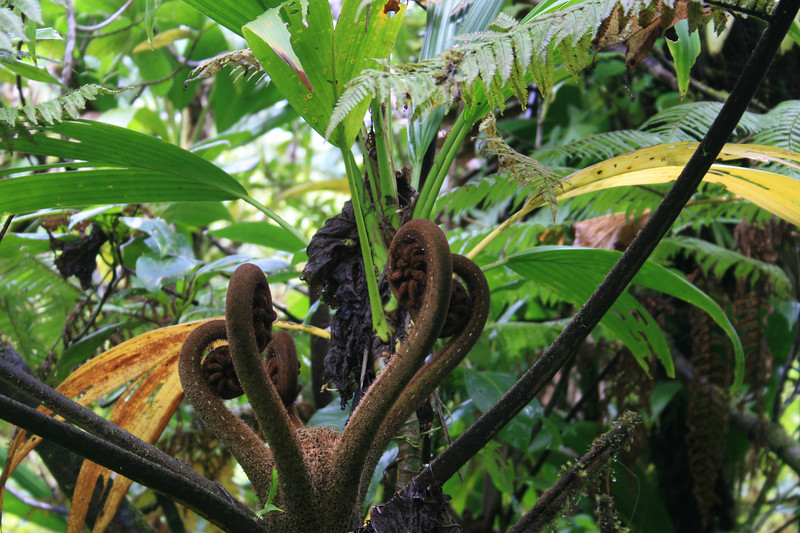 Giant fern, Dominica