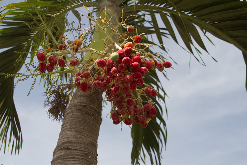 Palm blooms on the island of Montserrat