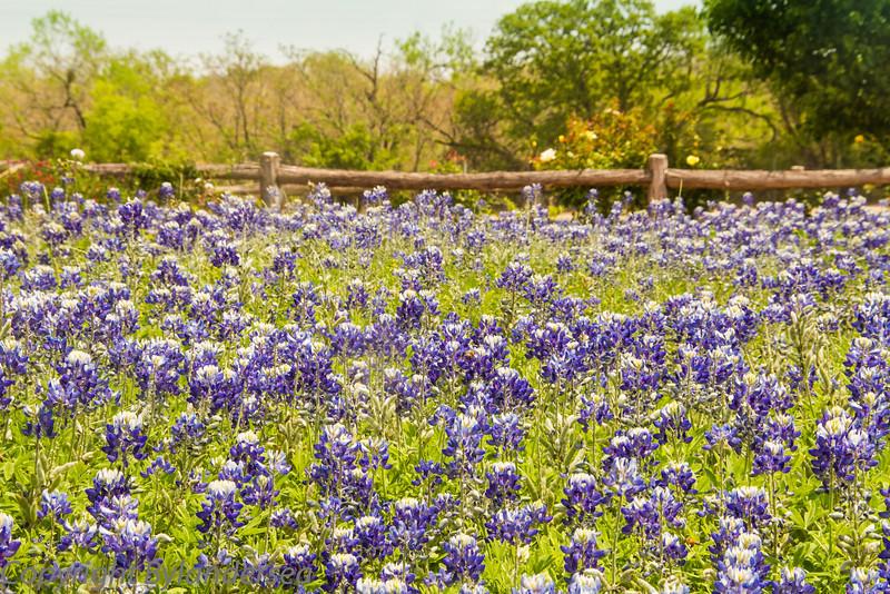 Blue Bells in Texas.