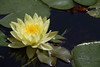 Water Lily, Daytona Beach, FL