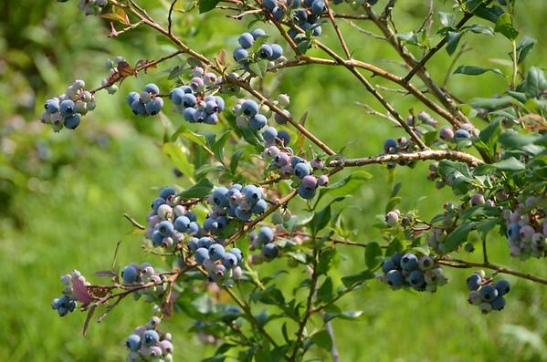 Blueberries in the Berkshires-072914