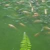 P1050520 fish copy2