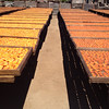 They dry a lot of apricots at Andy's Orchard.