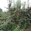 MacIntosh apple tree at Drew Farm in Westford, which is having a great year for apple harvest. (SUN/Julia Malakie)