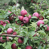 Macoun apples at Drew Farm in Westford, which is having a great year for apple harvest. (SUN/Julia Malakie)