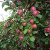 MacIntosh apples at Drew Farm in Westford, which is having a great year for apple harvest. (SUN/Julia Malakie)