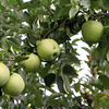 Golden Delicious apples at Drew Farm in Westford, which is having a great year for apple harvest. (SUN/Julia Malakie)