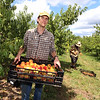 """Autumn Hills Orchard in Groton has pick your own raspberries and apples, and is harvesting peaches. Employee Peter Morton of Leominster carries a basket of this week's variety of peaches, """"Ernie's Choice.""""  (SUN/Julia Malakie)"""