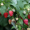 Strawberries at Autumn Hills Orchard in Groton, which has pick your own raspberries and apples, and is harvesting peaches.  (SUN/Julia Malakie)