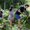 Autumn Hills Orchard in Groton has pick your own raspberries and apples, and is harvesting peaches. Justin Stone of Cambridge and his son and daughter, twins Ewan and Alara Stone, 10.  (SUN/Julia Malakie)