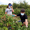 Autumn Hills Orchard in Groton has pick your own raspberries and apples, and is harvesting peaches. Alara Stone, 10, and her father Justin Stone of Cambridge pick raspberries. (SUN/Julia Malakie)