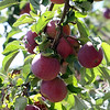 """Autumn Hills Orchard in Groton has pick your own raspberries and apples, and is harvesting peaches. These are """"Paula Red"""" apples, one of the varieties ready now for picking. (SUN/Julia Malakie)"""