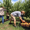 """Autumn Hills Orchard in Groton has pick your own raspberries and apples, and is harvesting peaches. From left, employee Peter Morton of Leominster, Rich Morrissey of Natick (rear) and Doug Patten of Groton, pick this week's variety of peaches, """"Ernie's Choice.""""  (SUN/Julia Malakie)"""