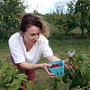 Autumn Hills Orchard in Groton has pick your own raspberries and apples, and is harvesting peaches. Victoria Kauffman of Groton picks raspberries. (SUN/Julia Malakie)